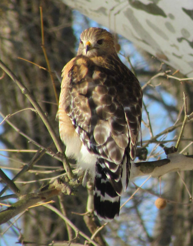 red shouldered  hawk_1559