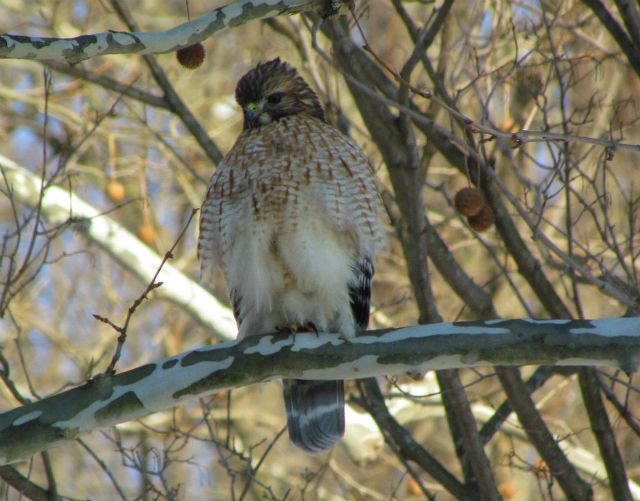 red shouldered  hawk_1595