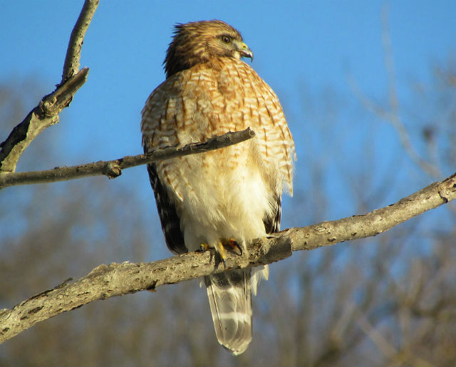red shouldered  hawk_1598
