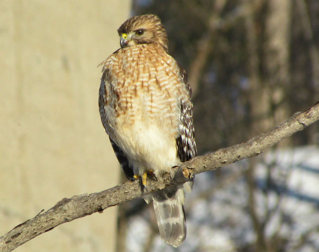 red shouldered  hawk_1602