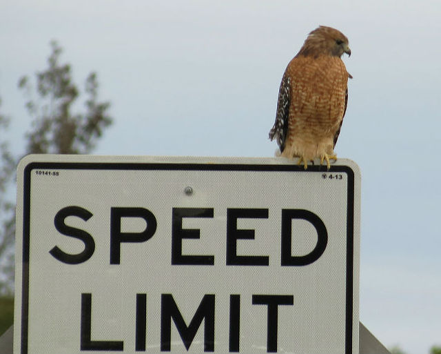 red shouldered  hawk_5435