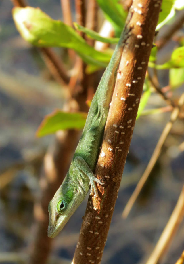 Green Anole_9421