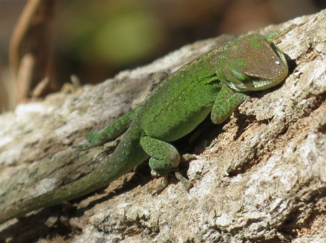 Green Anole_9621