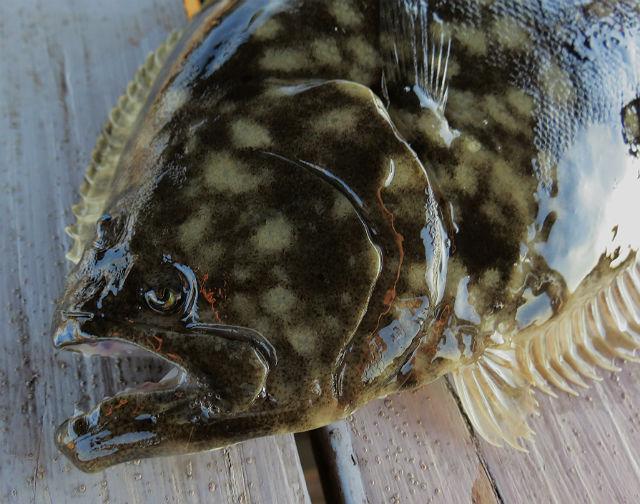 Southern flounder_9660