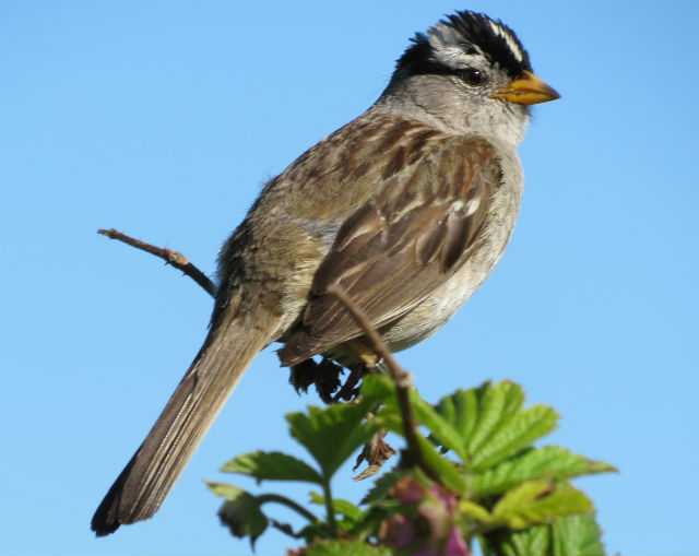 White-crowned Sparrow_1264