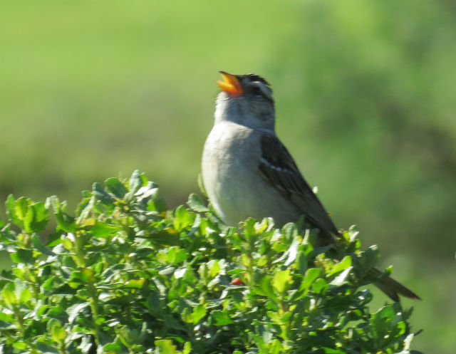 White-crowned Sparrow_1274