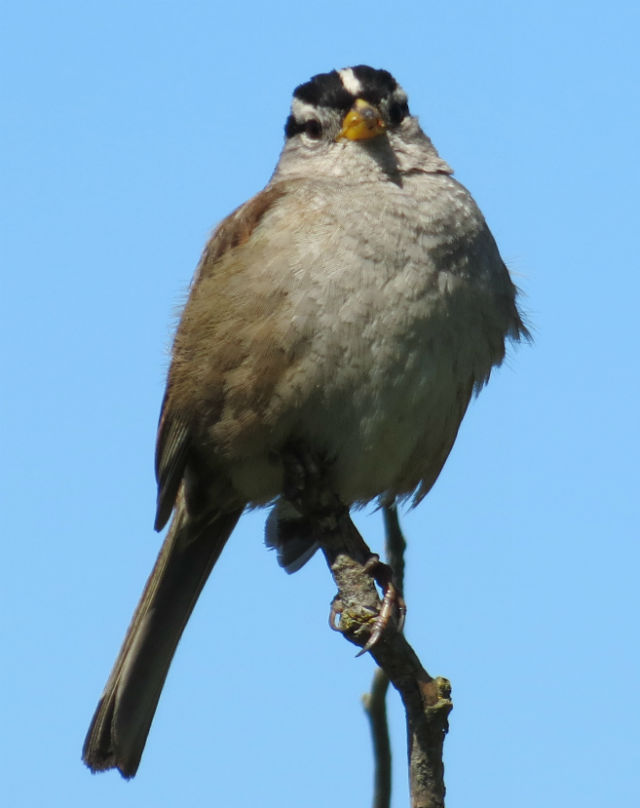 White-crowned Sparrow_1292