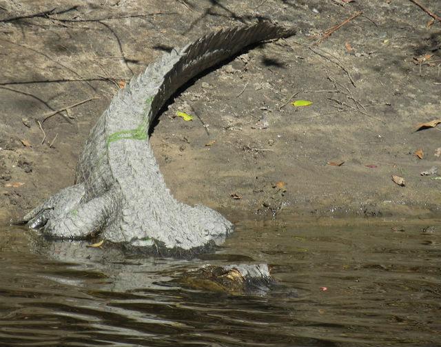 alligator_9553