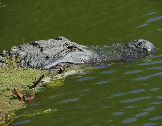 alligator_9578
