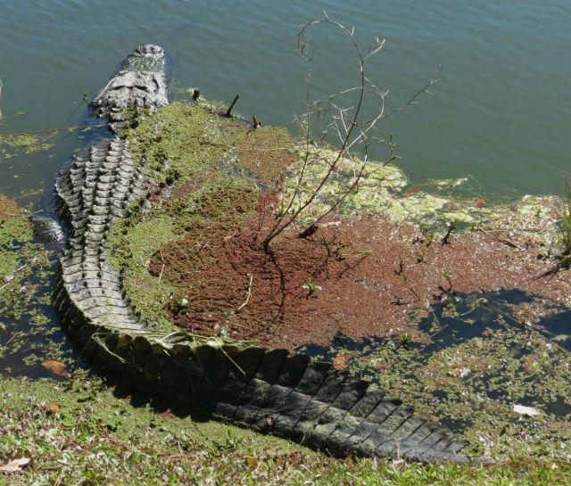 alligator_9580