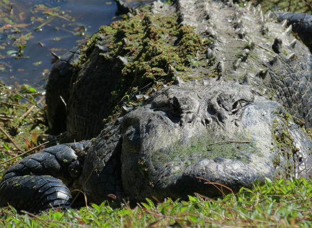 alligator_9589
