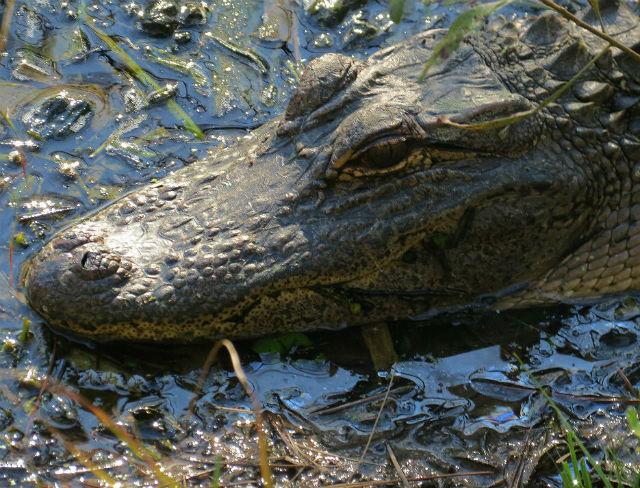 alligator_9841