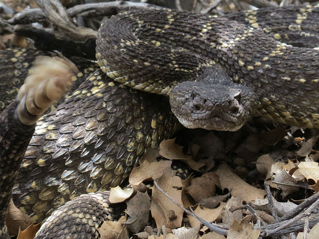 arizona black rattlesnake_2733