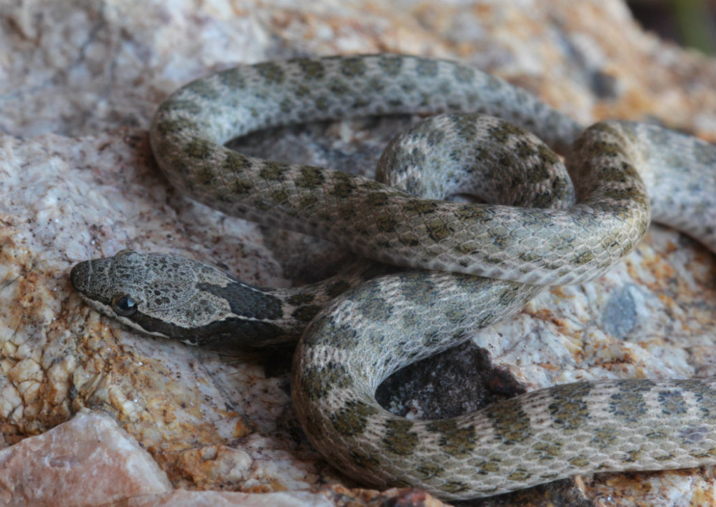 desert night snake_5966
