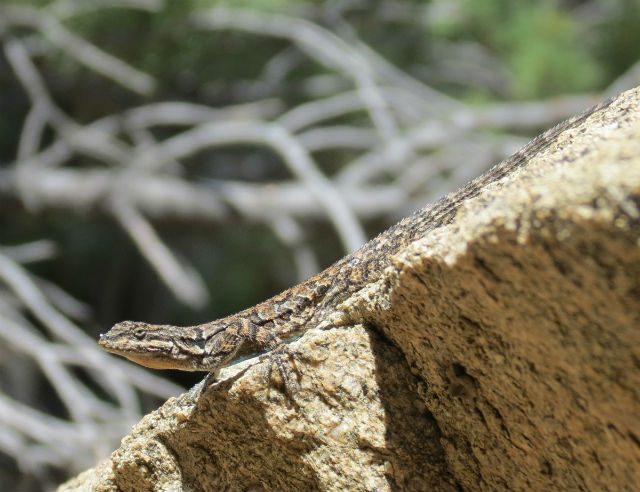 ornate tree lizard_2677