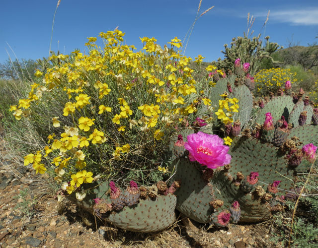 Cactus Longhorn Beetle_2597