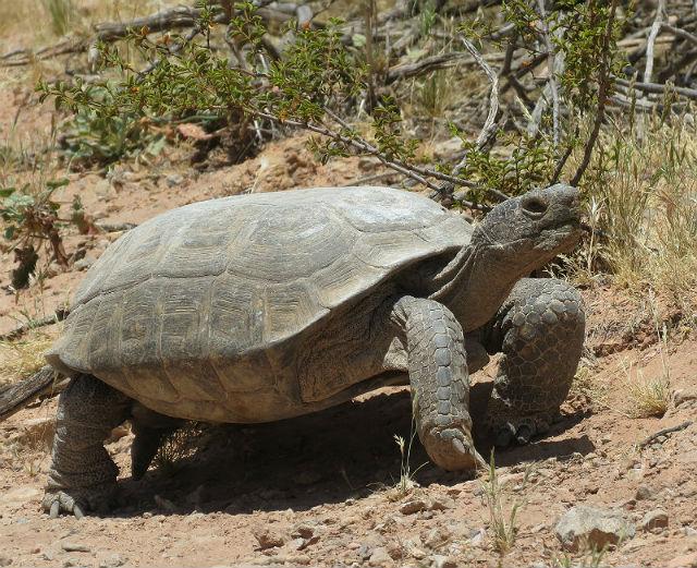 desert tortoise_3017