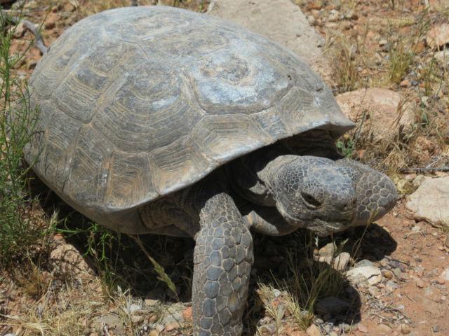 desert tortoise_3022