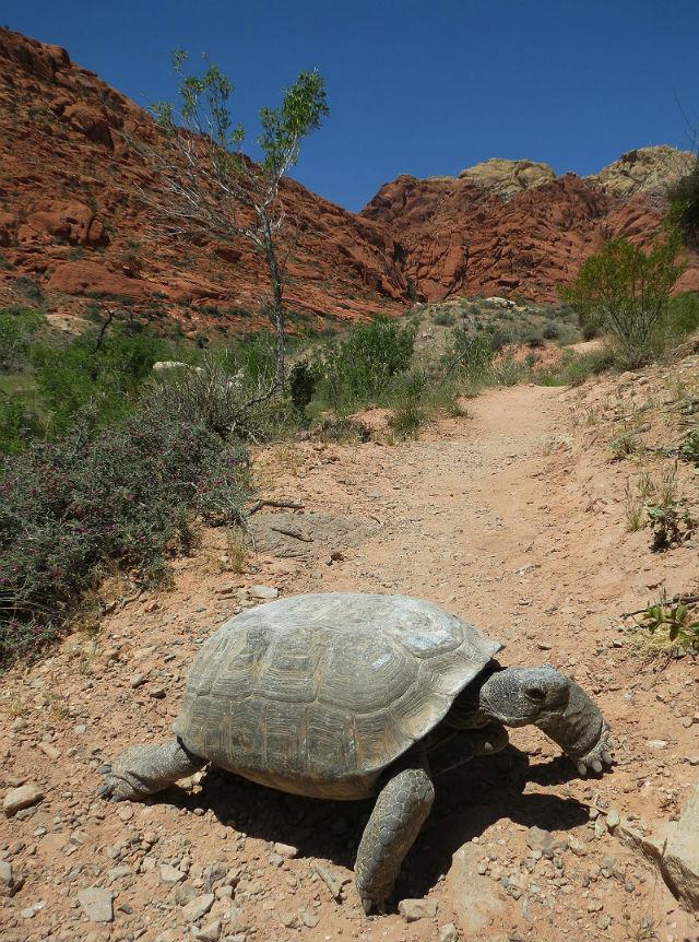 desert tortoise_3029