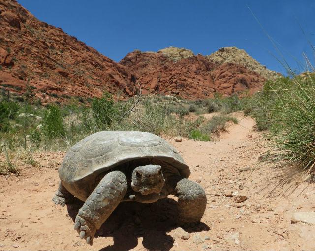 desert tortoise_3034