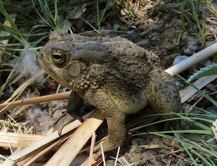 woodhouse toad_3186