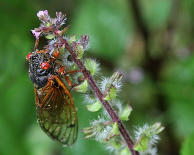 03 cicada 002