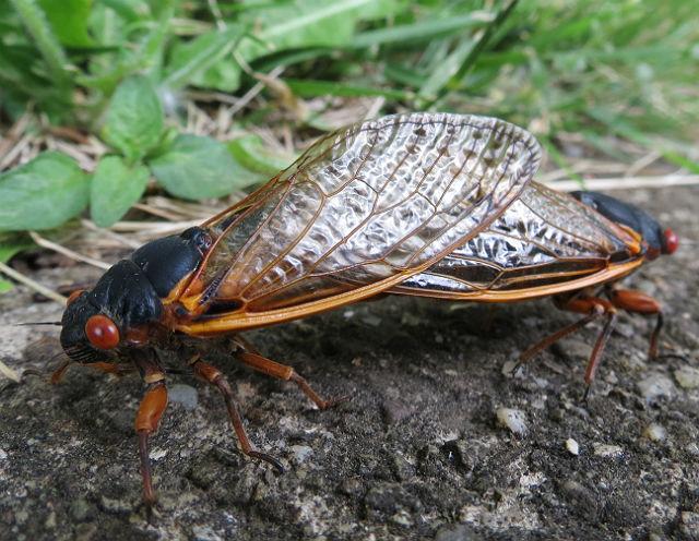 cicada_3707