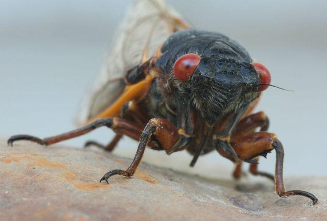 cicada_6059