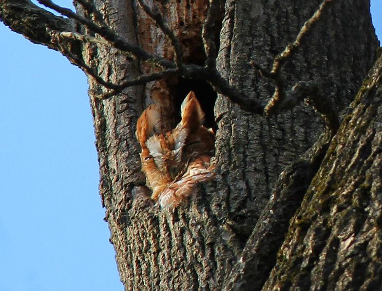 screech owl 040