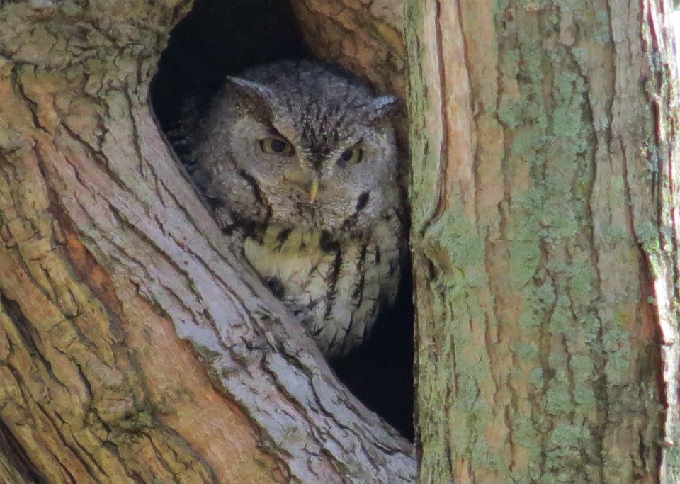 screech owl_1721