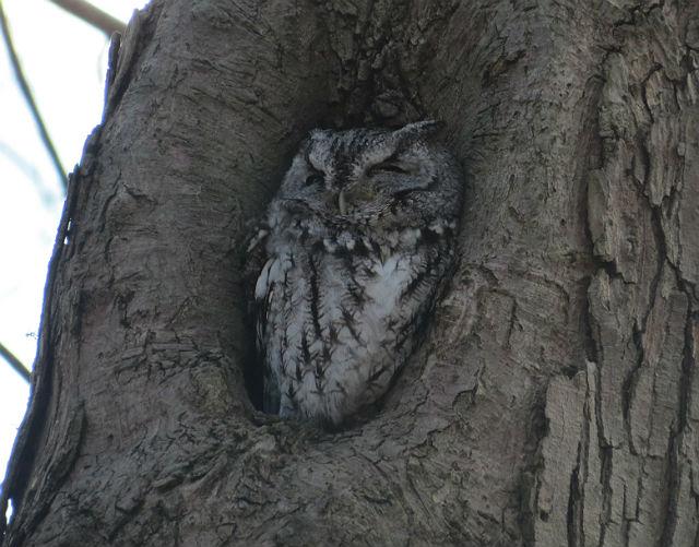 screech owl_8493