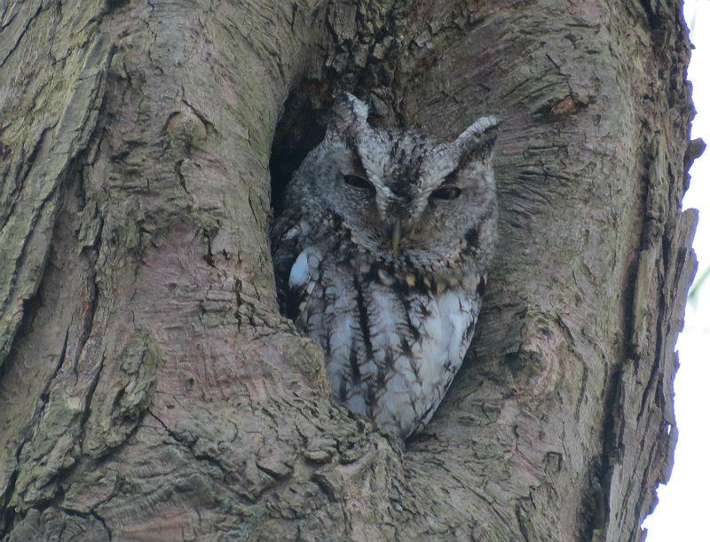 screech owl_8496
