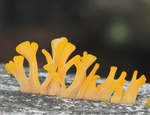 Fan-shaped Jelly Fungus_7122