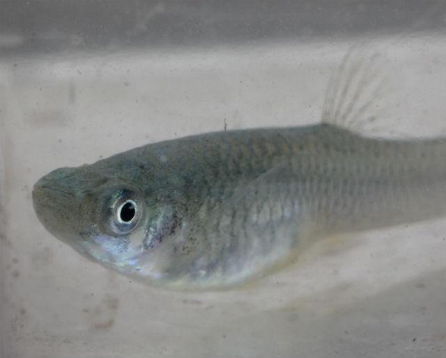 mosquito fish_7518