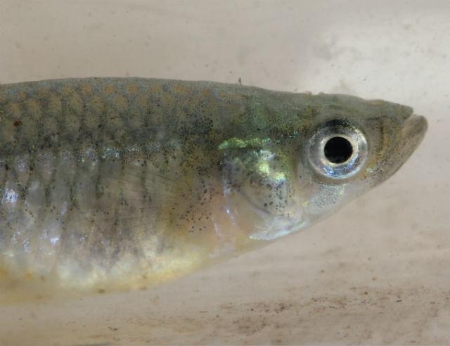 mosquito fish_7525