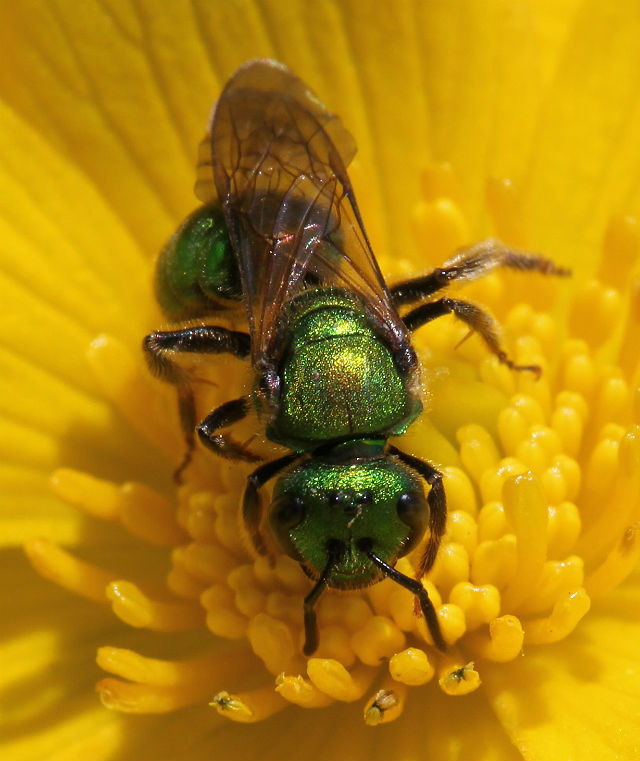 sweat bee 085