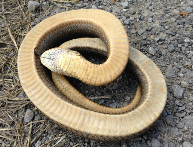 eastern hognose snake_2785