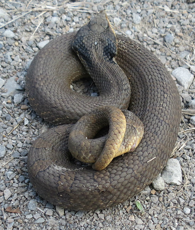 eastern hognose snake_7773