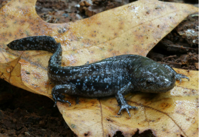 mole salamander_7980