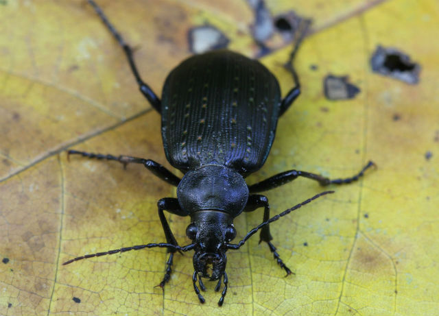 European Ground Beetle_3363