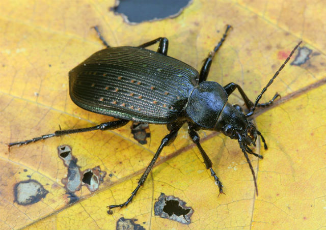 European Ground Beetle_3366