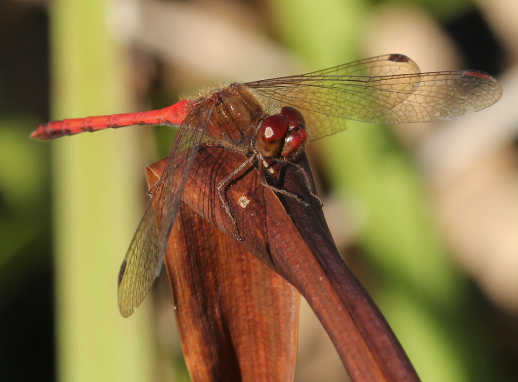autumn meadowhawk_3783