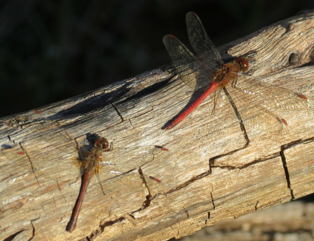 autumn meadowhawk_9287