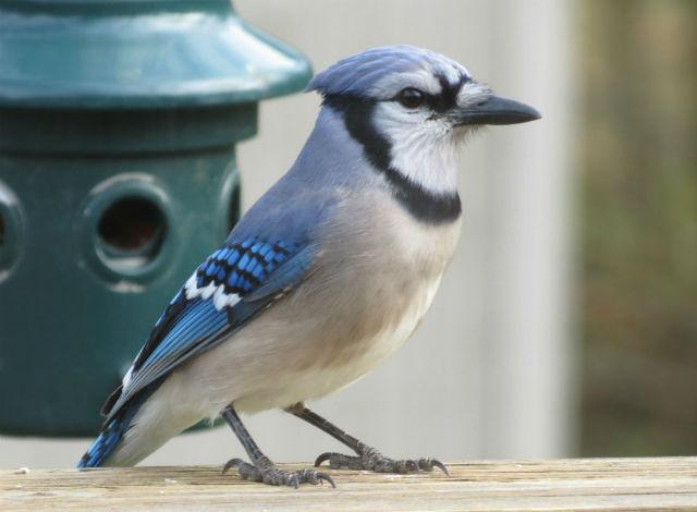 blue jay_9366