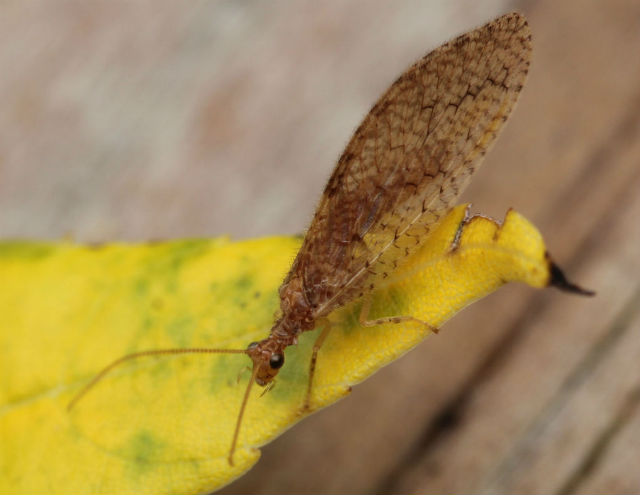 brown lacewing_8473