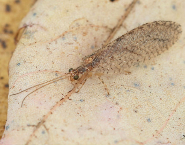 brown lacewing_8604