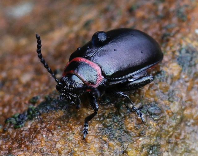 Vians Flea Beetle 019