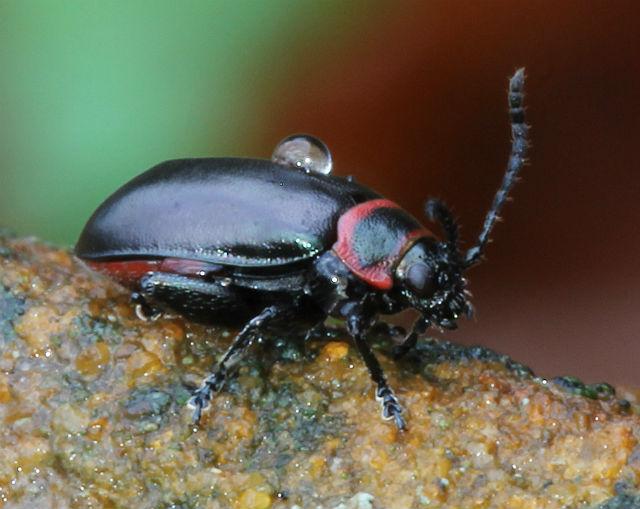 Vians Flea Beetle 024