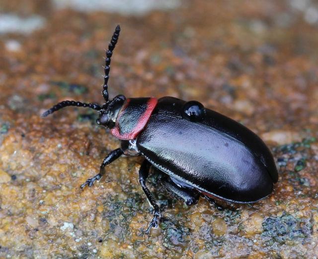 Vians Flea Beetle 031