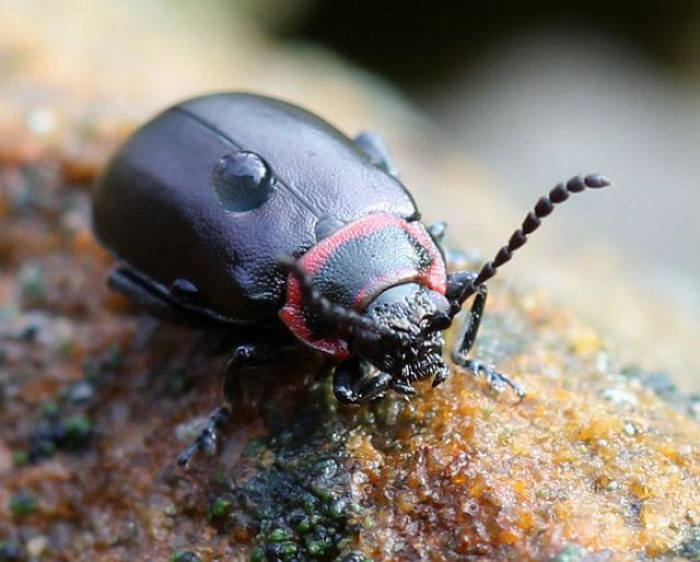 Vians Flea Beetle 038